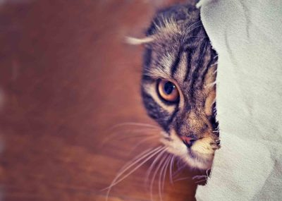 A striped cat with its ears down partially hiding behind a white cloth like it's in pain. This may be a behavior associated with a pet emergency.