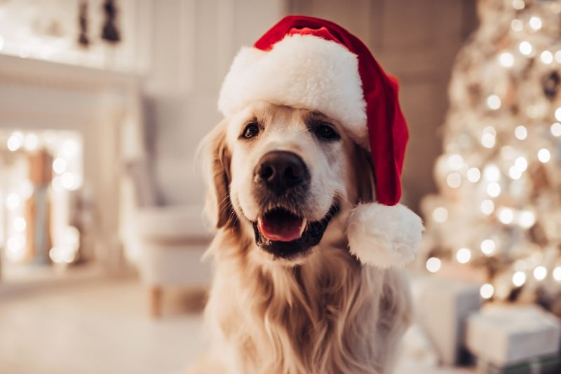 dog wearing santa hat