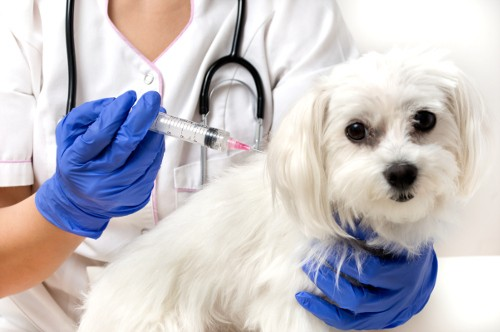 Dog being vaccined